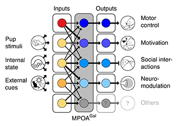 Functional architecture of the MPOAGal circuit. Broad, state- and sex-specifically activated inputs converge onto largely non-overlapping, projection-defined MPOAGal subpopulations that elicit specific aspects of parental behavior.